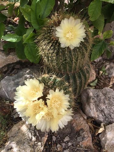 Cactus flowering in our garden...