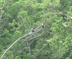 A couple of bald eagles