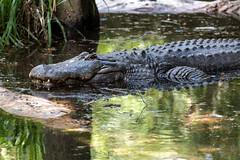Gator in Shallow Water
