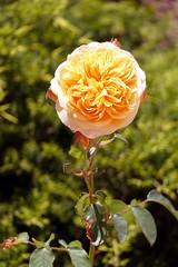 France, la rose jaune du jardin dans le Narbonnais - Photo of Fleury