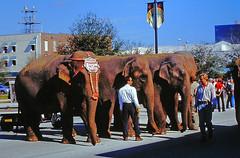 Unloading the Elephants in St. Petersburg, Florida
