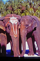 Two of the Elephants in St. Petersburg, Florida