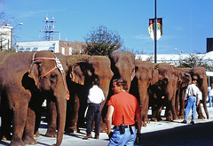 Lots of Elephants, St. Petersburg, Florida