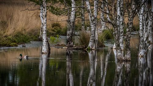 Mallard and birch