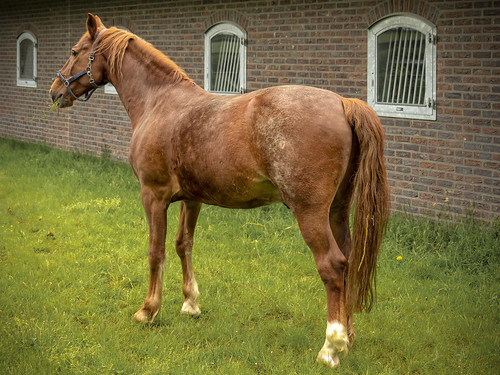 Paard - Bergenhuizen - Zuid-Limburg - NL