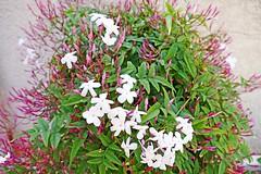 France, le Jasmin blanc en fleurs sur Narbonne - Photo of Fleury