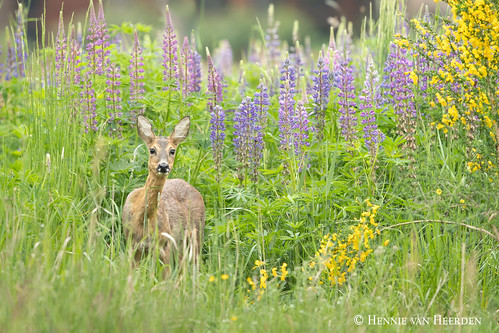 The lady in the lupins