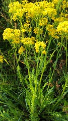 Small's Ragwort blooming (Packera anonyma), Rt. 765 and Fountain Lane, Broomes Island Quad, Calvert County, MD, 2019_0524