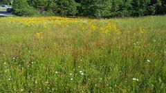 Small's Ragwort blooming (Packera anonyma), Rt. 4 at Calvert Hospital, Prince Frederick Quad, Calvert County, MD, 2019_0524