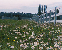 Dandylion Pasture