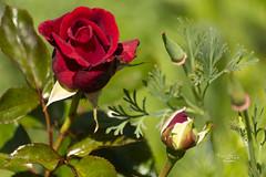 Rose Grand Huit DSC08265 - Photo of Balazé