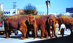 Group of Ringling Elephants with Trainer