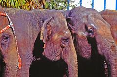 Three Ringling Elephant Eyes
