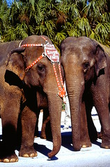 Two Elephants Waiting to be taken to the Bayfront Center