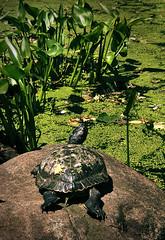 Turtle Sunning near Lake