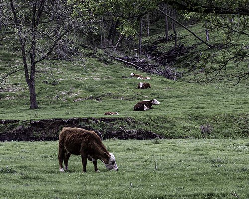 Herefords in Hereford Valley