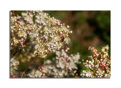Reine des près : Si les fleurs transmettent nos sentiments bien mieux que des mots, c'est parce qu'elles accompagnent la vie des hommes depuis l'Antiquité.