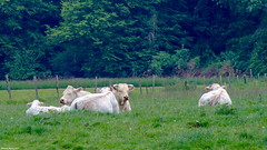 Ruminants ruminant.