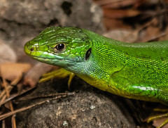 Lézard vert - Photo of Fox-Amphoux