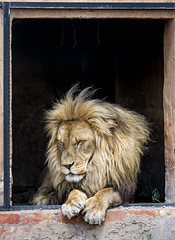 Lion at the window