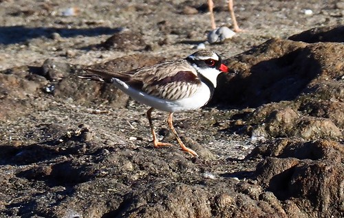 Waders - Dotterel - Black-fronted