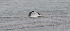 Dolphin Synchronized Swimming @ Aberdeen Harbour Breakwater.