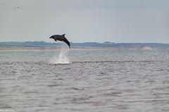 Bottle Nose Dolphin Doing a Fantastic Breach @ Aberdeen Harbour Breakwater.