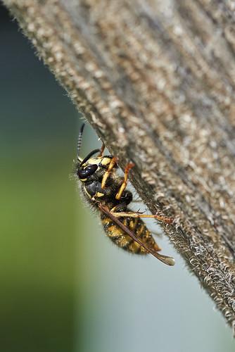 Sächsische Wespe - Saxon Wasp - Dolichovespula saxonica - 1