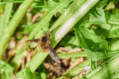 Grosser Wollschweber - Large Bee Fly - Bombylius najor - 1