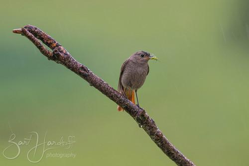 Rainy Redstart