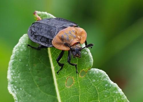 Oiceoptoma thoracicum (Silphidae), Kräbach bei Elsenborn, Osbelgien