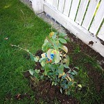 blueberry planting in North Garden by shiny