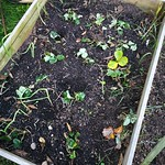 strawberry planting in Vege garden plot 1 by shiny