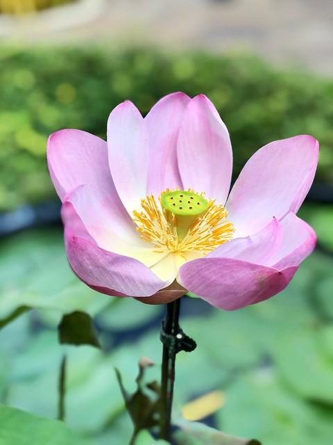 Lotus flower in our condo #flower@#iphonex #macro #dof #