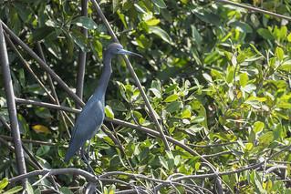 Little Blue Heron - El Paredon - Guatemala