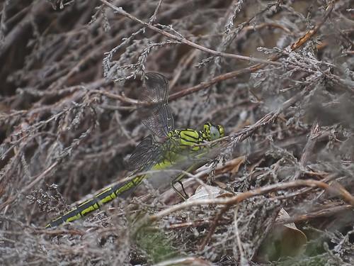 Plasrombout | Western Clubtail female  (Gomphus pulchellus) | Zuidlaren nl