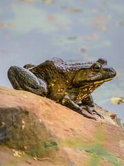 Frog sunning itself.