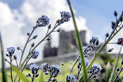 Forget Me Not. Cashel, Co. Tipperary