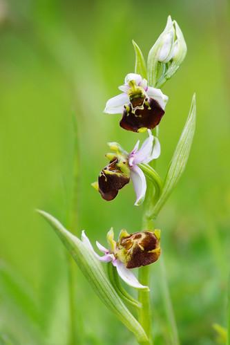 Ophrys frelon, Ophrys bourdon