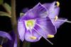 Photo:[Samani Hokkaido, Japan / 北海道様似郡様似町] Veronica schmidtiana subsp. schmidtiana var. yezoalpina fma. exigua By sunoochi