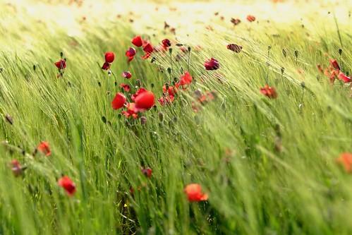 Poppy land.