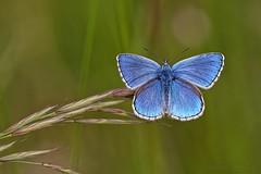 Polyommatus bellargus ♂ - Azuré bleu céleste ♂ - Photo of Cuzac