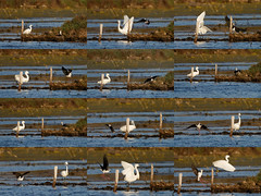 A Black-winged stilt puts  a Little egret bird to flight