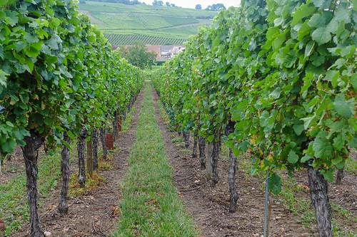 Vignoble de Ribeauvillé
