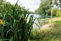 Iris des marais II.