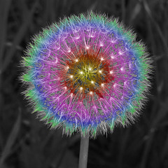 Rainbow Dandelion Puff Middle Semi