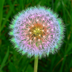 Rainbow Dandelion Puff Full