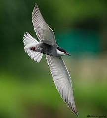 12黑腹燕鷗