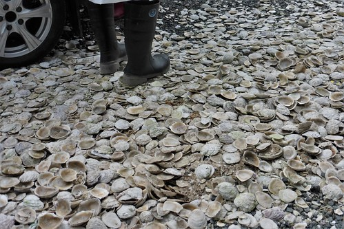 Many oysters have been shucked