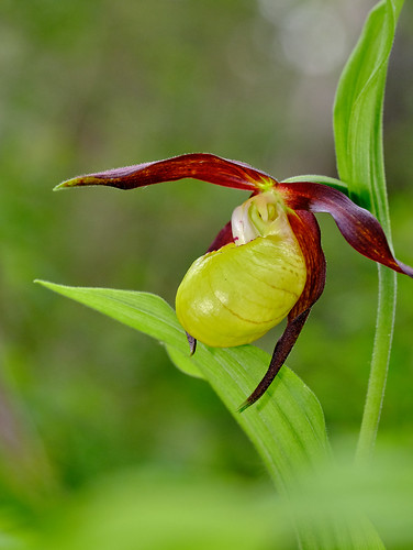 Lady's Slipper Orchid.   First of this years flowers amongst hundreds of of plants.